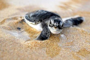 Baby Turtle Release: SEE Turtles Billion Baby Campaign