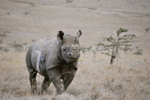 Good news on World Rhino Day: Black Rhinos Conservation